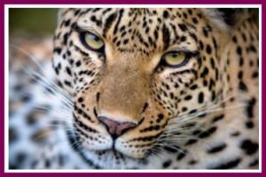tiger age spots